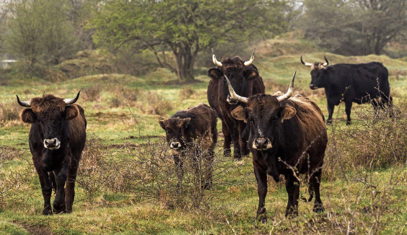 多种类牛群:
