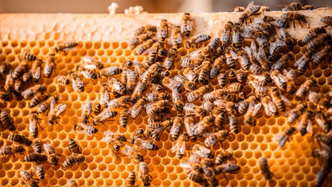 Porsche siedelt in Leipzig 1,5 Millionen Honigbienen an