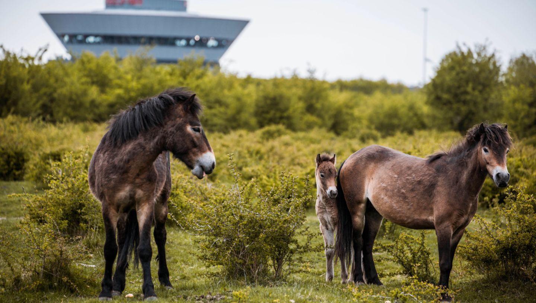 Exmoor-Ponys, Leipzig, 2017, Porsche AG